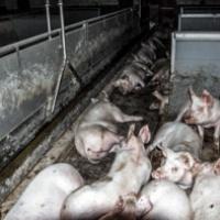 Heute schon Schwein gehabt oder nur ein Schinken-Sandwich?